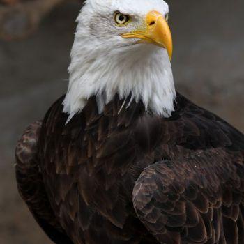 عقاب سر سفید