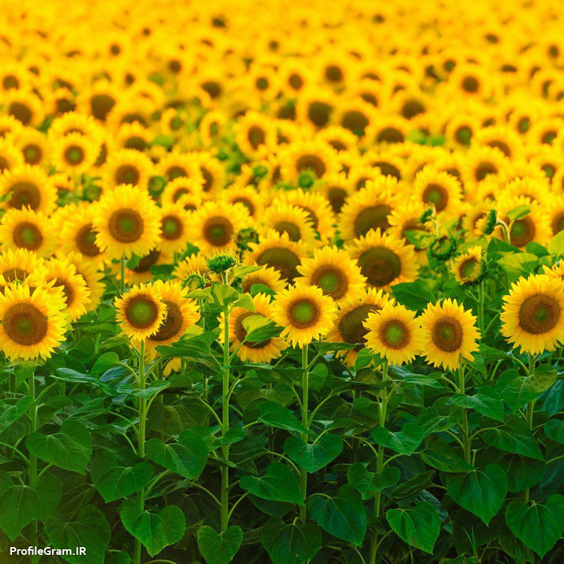 عکس پروفایل مزرعه گل های آفتابگردن