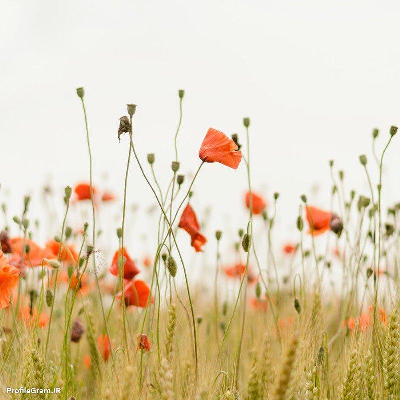 عکس پروفایل گل های شقایق در دشت