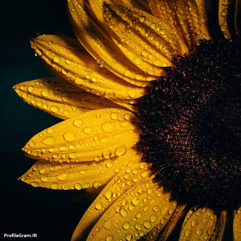 عکس پروفایل گل آفتابگردان زیبا با قطرات شبنم