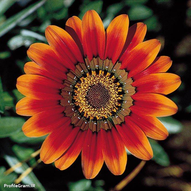 عکس پروفایل گل رنگارنگ بسیار ساده