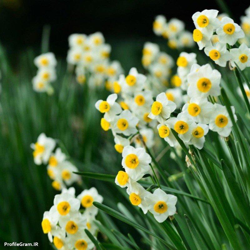 عکس پروفایل گل های نرگس سفید و زرد