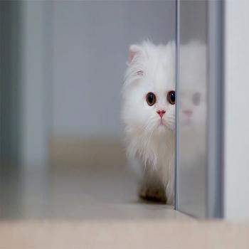 عکس پروفایل گربه سفید زیبا