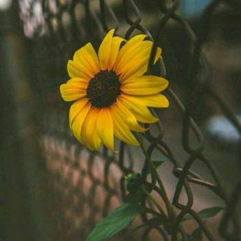 عکس پروفایل گل آفتاب گردون