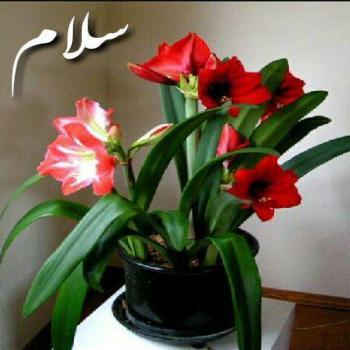 عکس پروفایل سلام و گل زیبا