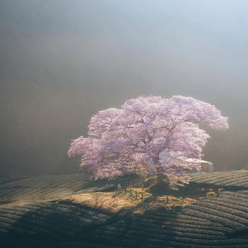 عکس پروفایل درخت شکوفه دار
