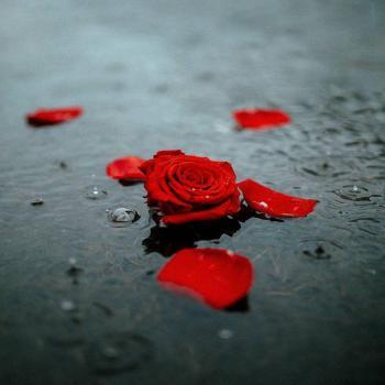 عکس پروفایل گل رز باران زده