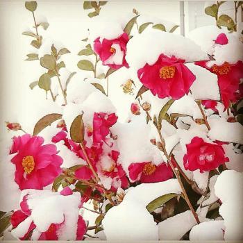 عکس پروفایل گل برفی زیبا