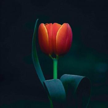 عکس پروفایل گل لاله قرمز