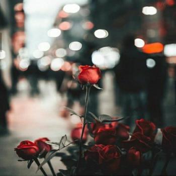 عکس پروفایل گل رز تک