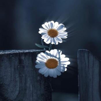 عکس پروفایل گل سفید یاسمن