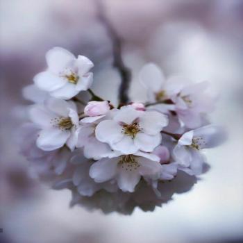 عکس پروفایل گل شکوفه