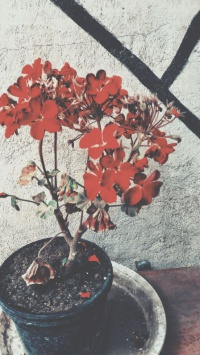 عکس استوری گلدان شمعدانی قرمز