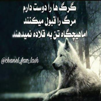 عکس پروفایل تیکه دار گرگ ها را دوست دارم مرگ را قبول میکنند اما هیچگاه تن به قلاده نمیدهند