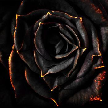 عکس پروفایل گل رز سیاه لاکچری