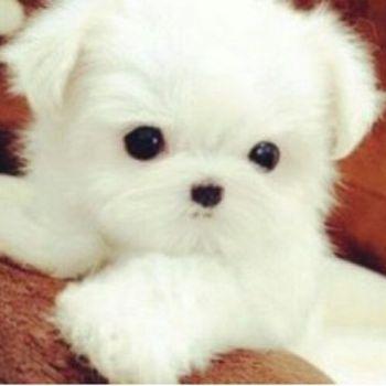عکس پروفایل سگ سفید ملوس بامزه