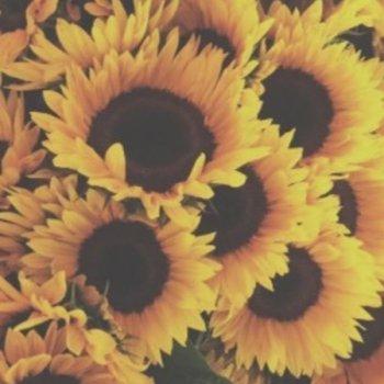 عکس پروفایل گل های آفتابگردون🌻