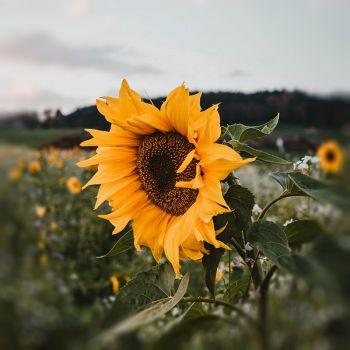 عکس پروفایل گل آفتابگردان زرد و زیبا