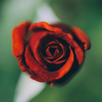 عکس پروفایل گل رز سرخ عاشقانه ساده