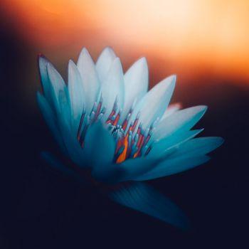 عکس پروفایل گل لوتوس سفید ساده قشنگ