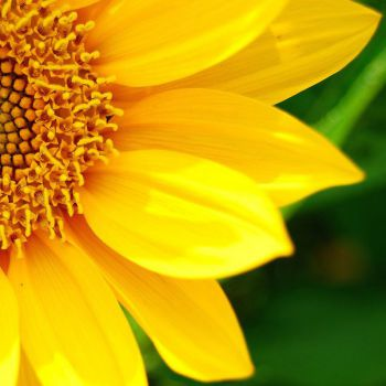 عکس پروفایل گل آفتابگردان زرد نیمرخ