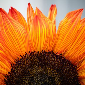 عکس پروفایل گل نارنجی آتشین قشنگ
