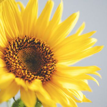 عکس پروفایل گل آفتاب گردون زرد قشنگ