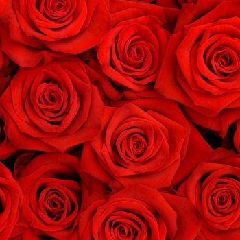 عکس پروفایل گل های قرمز رز زیبا