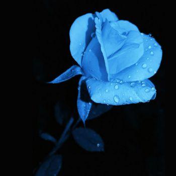 عکس پروفایل گل آبی کمرنگ با شبنم