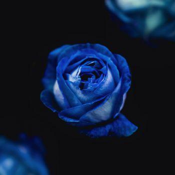 عکس پروفایل گل آبی پررنگ و تیره