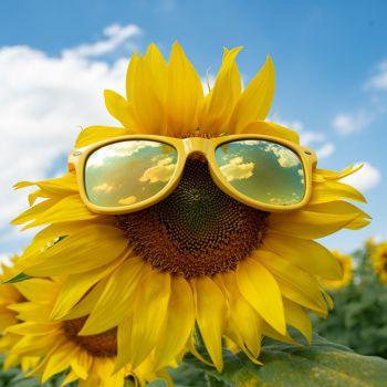 عکس پروفایل گل آفتابگردون با عینک