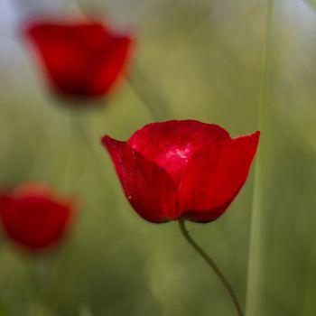 عکس پروفایل گل شقایق ساده با زمینه محو