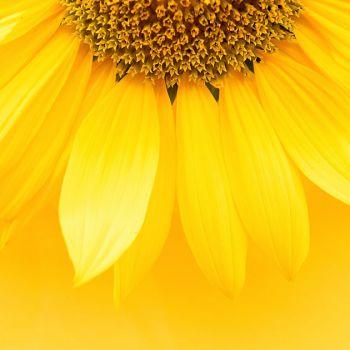 عکس پروفایل گلبرگ ها گل زرد زیبا