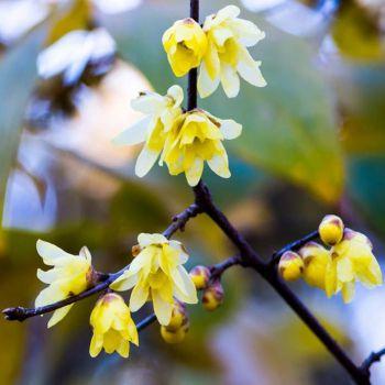 عکس پروفایل گل یخ زرد زیبا